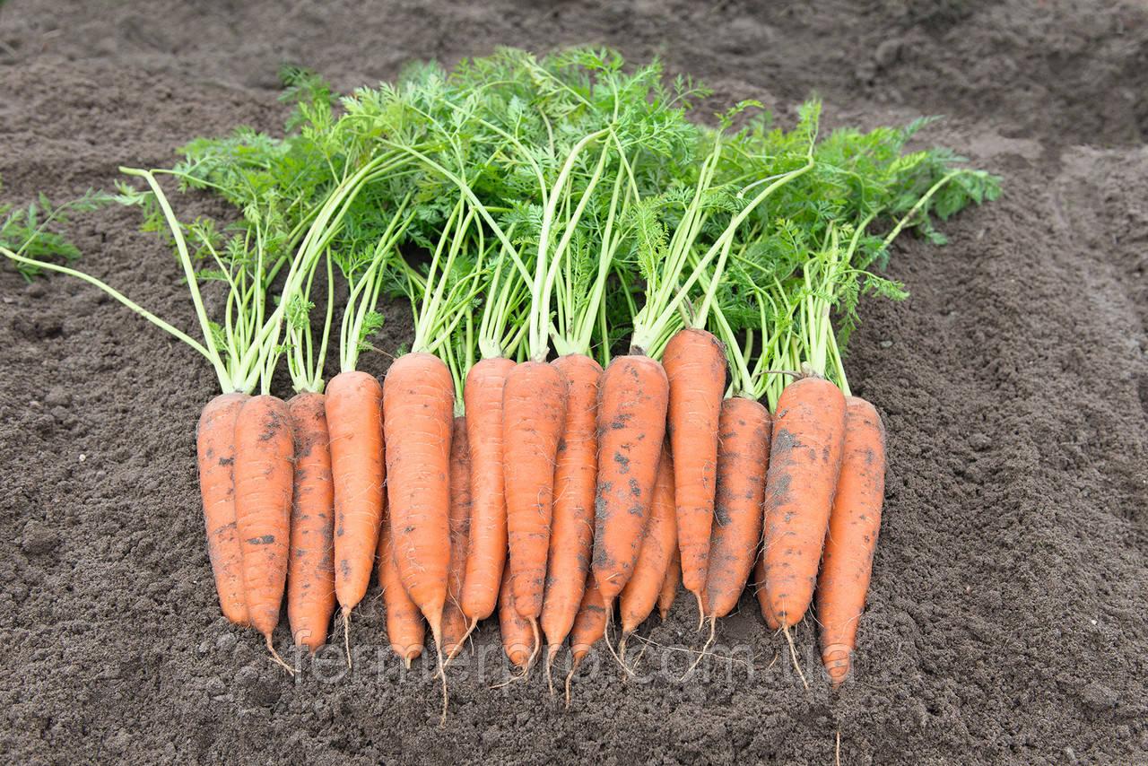 Семена моркови Вита Лонга \  Vita Longa  50 грамм Bejo zaden