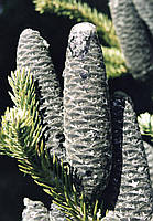 Семена пихты бальзамической
