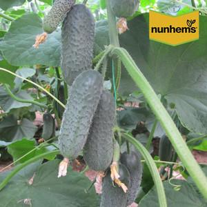 Семена огурца Директор F1 (Nunhems), 500 семян — ранний гибрид (45-50 дней), партенокарпик