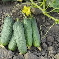 Семена огурца Проликс F1 (Nunhems), 1000 семян — партенокарпический корнишон для второго севооборота