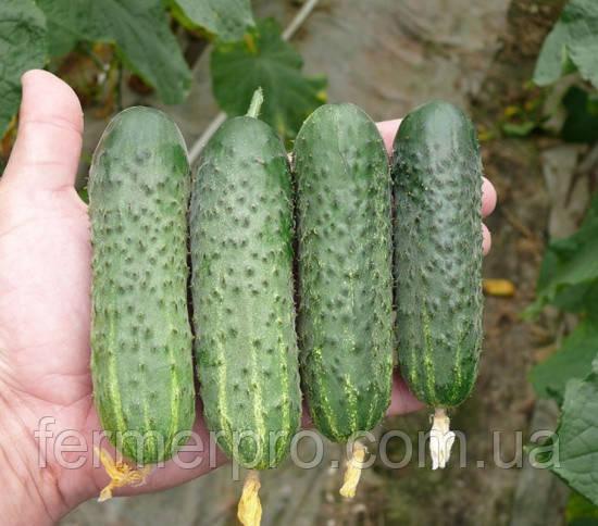 Семена огурца Стингер F1 1000 семян Lark Seeds