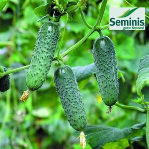 Семена огурца Мадита F1, 250 семян — ультраранний гибрид (40-45 дней), партенокарпик