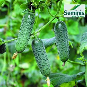 Семена огурца Мадита F1, 250 семян — ультраранний гибрид (40-45 дней), партенокарпик, фото 2