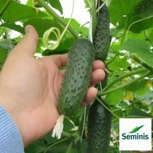 Семена огурца СВ 3506 ЦВ F1/SV 3506 CV F1 (Seminis), 250 семян — партенокарпик , фото 2