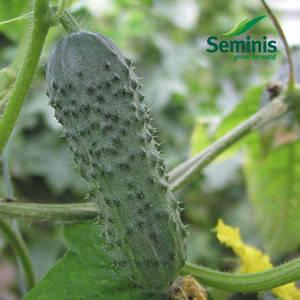 Семена огурца Меренга F1 (Seminis), 250 семян — ультраранний гибрид (38-40 дней), партенокарпик , фото 2