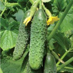 Семена огурца Мирабелла F1/Мирабелл F1, 250 семян — ультраранний гибрид (40-45 дней), партенокарпик