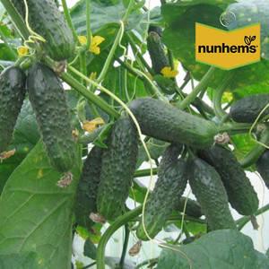 Семена огурца Афина F1 (Nunhems), 1000 семян — ранний гибрид (38-40 дней), партенокарпик, фото 2