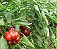 Семена перца Бихар F1 \ Bihar F1 500 семян  Lark Seeds, фото 8