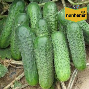Семена огурца Джустина F1/Джастина F1 (Nunhems), 1000 семян — ранний гибрид (45-50 дней), партенокарпик