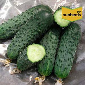 Семена огурца Сатина F1 (Nunhems), 1000 семян — ранний гибрид (38-40 дней), партенокарпик, фото 2