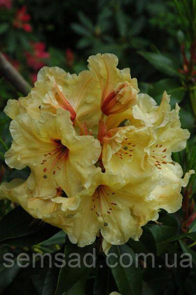 """Рододендрон """" Лачсголд """" ( саженцы 3 года ЗКС ) (Rhododendron Lachsgold)"""