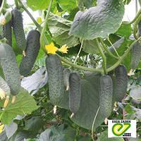 Семена огурца Гуннар F1 (Enza Zaden, АГРОПАК+), 100 семян — ультраранний гибрид,  партенокарпик
