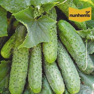 Семена огурца Криспина F1 (Nunhems, САДЫБА ЦЕНТР), 10 семян — ранний гибрид (38-40 дней), партенокарпик , фото 2