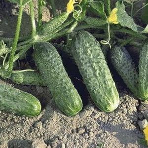 Семена огурца Криспина F1 (Nunhems, САДЫБА ЦЕНТР), 50 семян — ранний гибрид (38-40 дней), партенокарпик