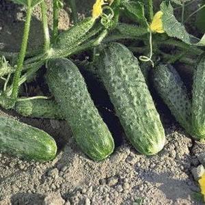 Семена огурца Криспина F1 (Nunhems, САДЫБА ЦЕНТР), 50 семян — ранний гибрид (38-40 дней), партенокарпик , фото 2