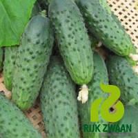 Семена огурца Компонист F1 (Rijk Zwaan ) 250 семян - партенокарпик, ранний гибрид (40 дней)