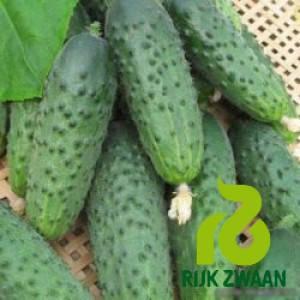 Семена огурца Компонист F1 (Rijk Zwaan ) 250 семян — партенокарпик, ранний гибрид (40 дней), фото 2
