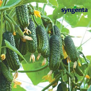 Семена огурца Эколь F1 (Syngenta), 500 семян — ранний гибрид (42-45 дней), партенокарпик, фото 2