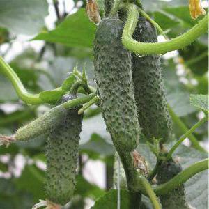 Пасалимо F1 семена огурца, 500 семян — партенокарпик (Syngenta),