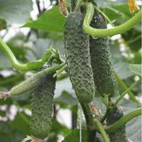 Семена огурца Пасалимо F1 (Syngenta), 500 семян — ранний гибрид (39-41 день), партенокарпик