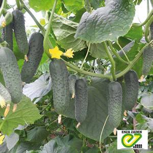 Семена огурца Гуннар F1 (Enza Zaden), 500 семян — ультраранний гибрид, партенокарпик, фото 2