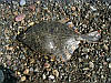 Камбала-глосса с/м, (глоська) черноморская, 6-7шт\кг, фото 2