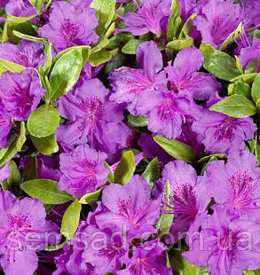 """Азалия японская """"Ледиканенс """"( саженец 2 года) Azalea japonica Ledicanense, фото 2"""
