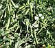 Семена гороха Тиара \ Tiara 100.000 семян Lark seeds, фото 2