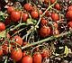 Семена томата 2206 F1 100.000 семян  Heinz Seed, фото 7