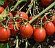 Семена томата 2206 F1 100.000 семян  Heinz Seed, фото 6