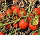 Семена томата 2206 F1 100.000 семян  Heinz Seed, фото 8
