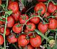 Семена томата 1015 F1 100.000 семян Heinz Seed, фото 5