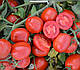 Семена томата 1015 F1 100.000 семян Heinz Seed, фото 4