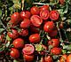 Семена томата 1015 F1 100.000 семян Heinz Seed, фото 6