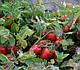 Семена томата 3402 F1 100.000 семян от Heinz Seed, фото 5