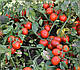 Семена томата Шкипер F1 1000 семян Lark Seeds, фото 9