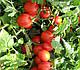 Семена томата Боцман F1 \ Bocman F1 10000 семян Lark Seeds, фото 4