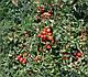 Семена томата Грандо F1 \ Grando F1 5000 семян Lark Seeds, фото 7