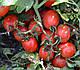 Семена томата Грандо F1 \ Grando F1 5000 семян Lark Seeds, фото 3