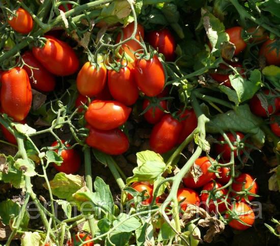 Семена томата Харди F1 \ Hardi F1 5000 семян Lark Seeds