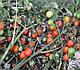 Семена томата Френзи F1 5000 семян Lark Seeds, фото 4