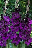 Гладиолус крупноцветковый Black Velvet