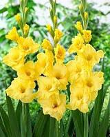 Гладиолус крупноцветковый Morning Gold
