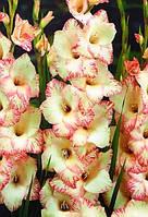 Гладиолус крупноцветковый Orlando