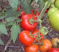Семена томата Баракуда F1 \ Barakuda F1 1000 семян Lark Seeds