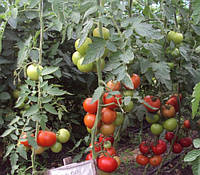Семена томата Баракуда F1 \ Barakuda F1 250 семян Lark Seeds