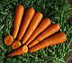 Семена моркови Курода 0.5 кг Lark Seeds, фото 4