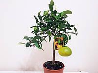 """Грейпфрут """"Thompson"""" с ПЛОДАМИ 60-70 см., фото 1"""