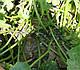 Семена кабачка Муфаса F1 0,5 кг  Lark Seeds, фото 4