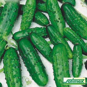 Семена огурца Ира F1 (Satimex, САДЫБА ЦЕНТР), 5 г — ультраранний гибрид (40-44 дней), партенокарпик, фото 2